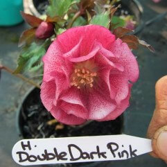 Hellebore Double Dark Pink